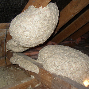 Wasp nest removals